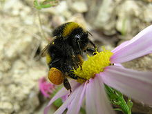 Bumble bee - courtesy Wikimedia