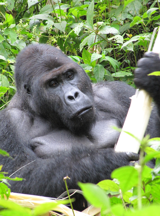 Grauer's gorilla - courtesy FFI, photo by Stuart Nixon