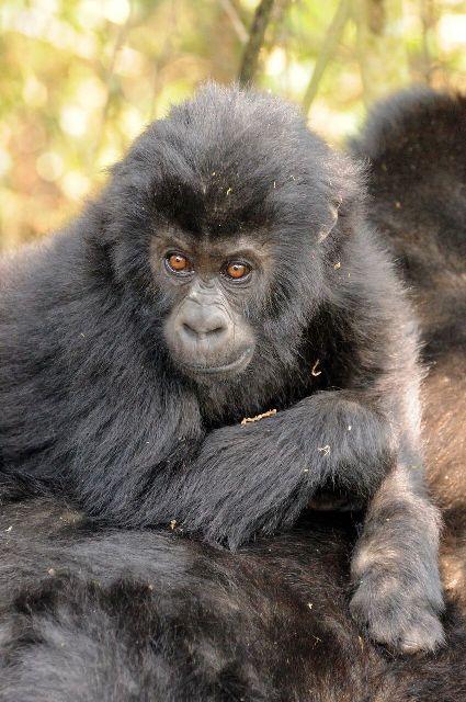 Grauer's gorilla infant