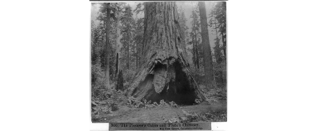 pioneers-cabin-tree-circa-1966